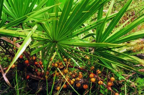 Saw Palmetto for hair regrowth - Maisonterre